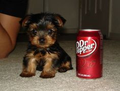 O-M-G!  How adorable and tiny is this?  I     can't imagine having a pup that small...but LOVE this cutie!!!