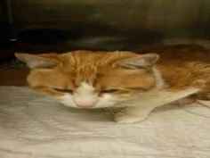 PARSON - A1036910 - - Manhattan  *** TO BE DESTROYED 05/23/15 *** POOR PARSON PROBABLY FEELS THAT EVERYONE HAS ABANDONED HIM…The first thing his owner did when he noticed that PARSON wasn't himself was to run to the nearest high kill shelter instead of a vet. So now PARSONS is not feeling well and ALONE in a strange place with tons of other animals which must be intimidating. PARSON, as with many male cats, became blocked which can be fatal. A new completely wet