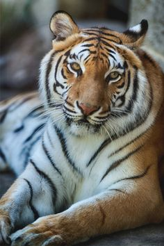 italian-luxury:  Tiger Relaxing by Eric Kilby