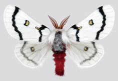 Moth - WHO WOULD BELIEVE A MOTH COULD LOOKS SO EXQUISITE!! - THE PATTERNS & COLOURING ARE JUST GORGEOUS!! ⭕️