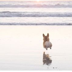 Geordi La Corgi runs, er, flies to the ocean. Love those little legs! Look at Le happy puppy Cute Corgi, Corgi Dog, Cute Puppies, Dogs And Puppies, Dog Cat, Teacup Puppies, Welsh Corgi Puppies, Dachshund Puppies, Pembroke Welsh Corgi
