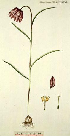 Wilde kievitsbloem - Fritillaria meleagris Afmeting: 20 tot 50 cm. Levensduur: Overblijvend. Geofyt (winterknoppen onder de grond). Bloeimaanden: April en mei. Wortels: Een bol. Stengels: De rechtopstaande stengels zijn dun en rond. Bladeren: De verspreid staande bladeren zijn grijsachtig groen, lijnvormig, gootvormig en spits. Bloemen: Tweeslachtig (een bloem met zowel mannelijke als vrouwelijke geslachtsorganen). Gewoonlijk groeit er 1 bloem aan de stengeltop. Ze zijn donker paarsachtig…