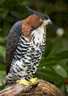 Ornate Hawk-Eagle (Spizaetus ornatus) is a bird of prey from the tropical Americas. Like all eagles, it is in the family Accipitridae. Kinds Of Birds, All Birds, Birds Of Prey, Love Birds, Pretty Birds, Beautiful Birds, Animals Beautiful, Exotic Birds, Colorful Birds