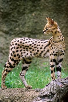 Serval Cat,belongs to the Wild Cats family and lives in Africa Especie Animal, Mundo Animal, Rare Animals, Animals And Pets, Beautiful Cats, Animals Beautiful, Small Wild Cats, Serval Cats, Gato Grande