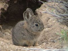 The American Southwest's pygmy rabbit is the world's smallest rabbit. It's about the size of a soda can and weighs a single pound.