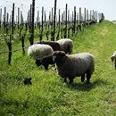Interested in learning more about the role each animal and insect plays on a holistically farmed vineyard (like Tres Sabores's estate vineyard)? Read this!