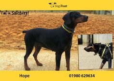 Dogs Trust, Doberman, Fur Babies, Cute Dogs, Sick, Adoption, Salisbury, Confidence, Tasty