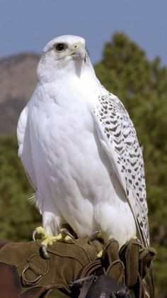 White hawk - Top Of The World Pretty Birds, Beautiful Birds, Animals Beautiful, Cute Animals, Beautiful Pictures, Gorgeous Gorgeous, All Birds, Birds Of Prey, Exotic Birds