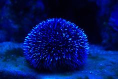 blue sea urchin | Pin by Brooke Claussen on Blue | Pinterest