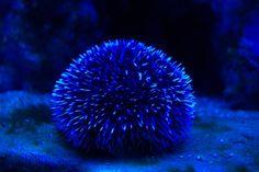 blue sea urchin   Pin by Brooke Claussen on Blue   Pinterest