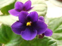 african violet flower - Google Search