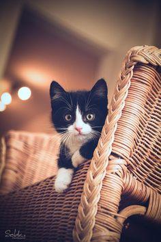 Joli cliché d'un chaton noir & blanc.