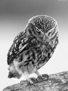 Owls are up there with geckos, hummingbirds, frogs and dolphins in terms of sheer coolness of beastie