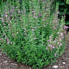 Teucrium chamaedrys (Germander)Bloomtime: Summer Synonyms: (Teucrium x lucidrys) Height: 1-2 feet Width: 2-3 feet Exposure: Full Sun Summer Dry: Yes Irrigation (H2O Info): Low Water Needs