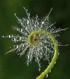 Fiddlehead Fern with morning dew - what an amazing photograph. ...