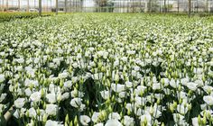 Large Flower Nursery Full Of White Flowering Lisianthus Or Eustoma.. Stock Photo, Picture And Royalty Free Image. Image 27433983.