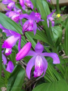 "euph0r14: ""Urn orchid. | by fhm03ken091 Source: http://ift.tt/2mxSOuU """