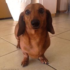 dachshund-with-most-innocent-eyes-ever