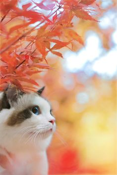 The most tow beautiful : Cat & momiji