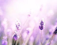 nature photography flower lavender photography by mylittlepixels
