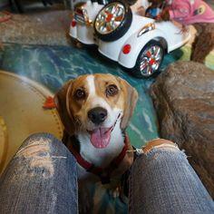 😍😍😍 #주말나들이 #기분좋아  Happy weekend🐾 . . . #망고 #비글 #이쁜망고 #비글스타그램 #멍스타그램 #인스타독 #견스타그램 #주말 #일상 #애견동반카페 #메르헨146 #반려견 #사지말고입양하세요 #mango #beagle #beaglestagram #beaglelover #beaglemania #beagleworld_feature #justbeagles #dogsofinstagram #dogofday #dogstagram #weekend #dogcafe #dog #犬 #ビーグル