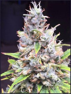 Mama San - sativa - beautiful buds -#Marijuana #Cannabis #maryjane