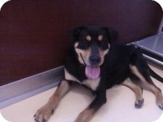 I'm Bandit and I am a 3 year old Rottweiler mix. My family had to give me up when our landlord changed the pet policy.  I am house trained and get along well with other dogs.  I really miss my family and enjoy any attention I get from new people.  Even though I'm part Rottweiler, I am very calm and gentle.  I enjoy going for walks and playing at the dog park.  As a devoted dog, I will be loyal to you.