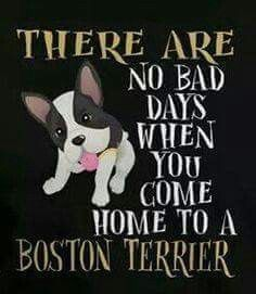 There are no bad days when you come home to a Boston Terrier Terrier Breeds, Terrier Puppies, Dog Breeds, Terriers, Bulldog Puppies, Boston Terrior, Boston Terrier Art, I Love Dogs, Puppy Love