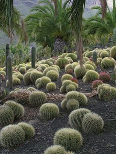 bonito jardn con bolas de cactus