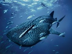 Today is International Whale Shark Day! Did you know the whale shark is the largest species of any fish? It is not to be mistaken for the blue whale, which is a mammal. Photo by Cool Sharks, Swimming With Whale Sharks, Fish Swimming, Shark Pictures, Shark Photos, Blue Pictures, Underwater Pictures, Animal Pictures, Shark Images