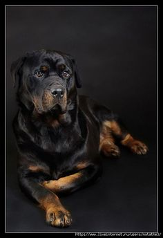 "Click visit site and Check out Best ""Rottweiler"" T-shirts. This website is superb. Tip: You can search ""your name"" or ""your favorite shirts"" at search bar on the top."