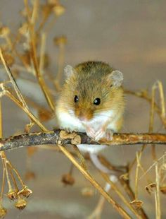 rat des moissons // harvest mouse (micromys minutus) adorable <3
