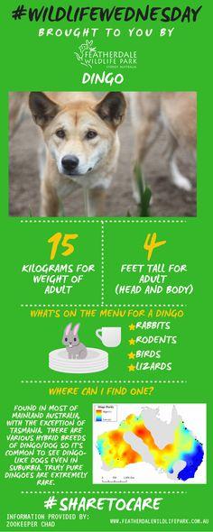 Our #wildlifewednesday star is the Dingo!