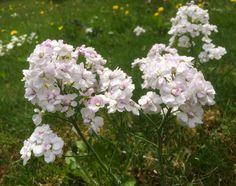 Wiesenschaumkraut Schaum, Kraut, Plants, Florals, Photo Illustration, Plant, Planting, Planets