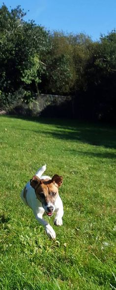 JACK RUSSELL TERRIER Jess was delighted with the frisbee she found today. If you are an active, terrier-savvy, adults only home, maybe Jess could bring her frisbee to play in your garden? Jack Russell Terrier, Bring It On, Play, Garden, Dogs, Animals, Garten, Animales, Animaux