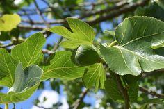 A füge szaporítása lépésről-lépésre - CityGreen.hu Ficus, Plant Leaves, Fruit, Vegetables, Flowers, Plants, Gardening, Decor, Decoration