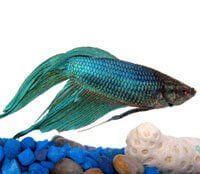 Pet shops, discount superstores, florists, and even online catalogs sell Betta fish in tiny cups to consumers who are often uneducated about proper care.