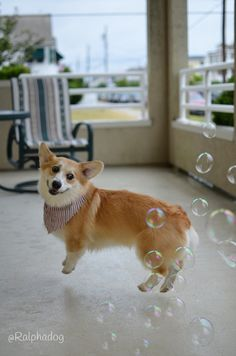 My two favorite pictures ever. He's levitating! ... - Ralphie Bobby The Corgi