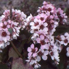 Vivace grandes feuilles semi persistantes rose avec des nervures bordeaux fleurs en hauteur - Couper les feuilles en fin de floraison ...