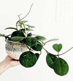 Hoya Obovata Find Decor At Forest Homes Planting Succulents, Planting Flowers, Art Floral Japonais, Hoya Obovata, Easy House Plants, Plant Aesthetic, Decoration Plante, Plants Are Friends, Cactus Y Suculentas