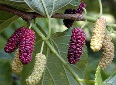 Morus rubra - Red Mulberry