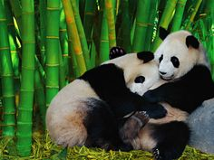 2 Panda's and Bamboo