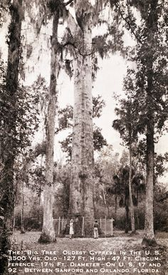 "Florida Memory - The ""Big Tree"". Vintage Florida, Old Florida, State Of Florida, Naples Florida, Tampa Florida, Central Florida, Places In Florida, Florida Beaches, Beach Trip"