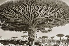 Dragon's blood tree, Dracaena cinnabari, Socotra, Yemen. Living for up to 500 years, these bizarre trees are unique to the island of Socotra Socotra, Beautiful Dark Twisted Fantasy, Dark And Twisted, Tree Photography, White Photography, Contemporary Photography, Photoshop Photography, Photography Magazine, Outdoor Photography