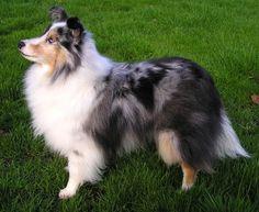 O cão Pastor de Shetland, também conhecido como Sheltie é um cão originário das Ilhas Shetland . Sua função inicial é o pastoreio de ovelha...