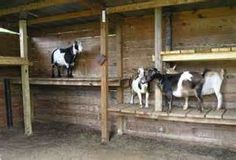 pygmy goat shed - Bing images