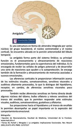 Infografía Neurociencias: Amígdala cerebral.   Asociación Educar
