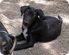 Towson, MD - Great Dane/Australian Shepherd Mix. Meet Bon Bon, a puppy for adoption. http://www.adoptapet.com/pet/13523949-towson-maryland-great-dane-mix