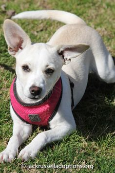 Abby, Adoptable Terrier/Chihuahua | Georgia Jack Russell Rescue, Adoption & Sanctuary