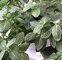 Tietoja kasvista Valkopitsilehti, Fittonia verschaffeltii 'Argyroneura', silveråderblad. Ei liian pimeä paikka eikä suoraa auringonpaisetetta.